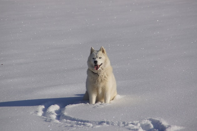 A husky sitting in the snow