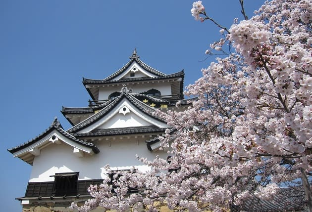 A cherry blossom tree in Japan