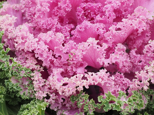 Some ornamental cabbage
